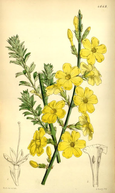 Winter Jasmine botanical illustration