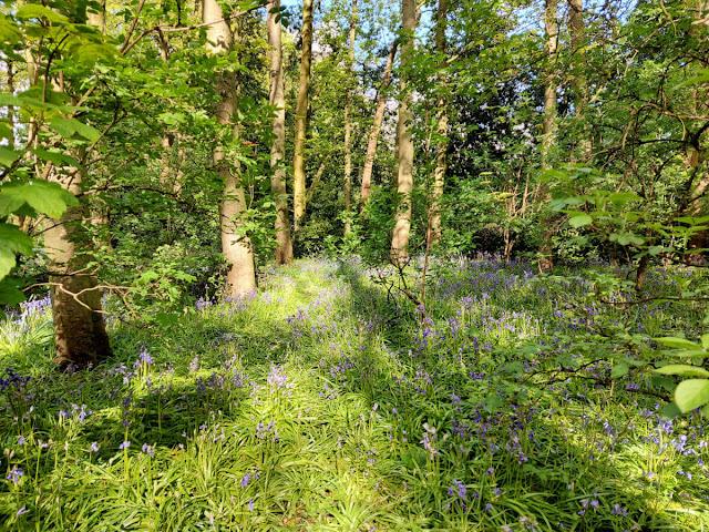 Masses of bluebells flowering in the woods