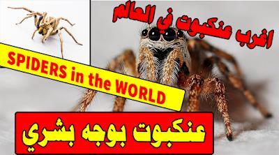 هل رأيت يوما عنكبوت  بوجه بشري - اغرب عنكبوت في العالم SPIDERS in the WORLD