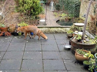 fox on the patio
