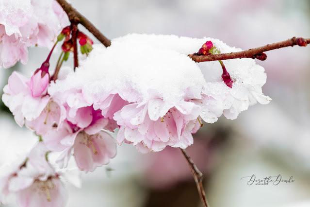 Schnee, Kirschblüten, Frühling, spring, photoart,Dorothe Domke
