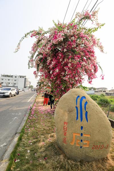 彰化田中九重葛花牆綿延梅州街300公尺,色彩繽紛像花瀑好夢幻