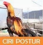 postur ayam bangkok tegak mengalir
