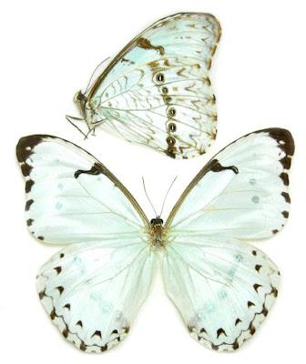 Mariposa bandera argentina Morpho catenarius