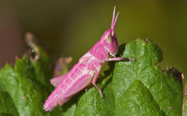 Saltamontes rosado (Chorthippus parallelus)