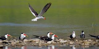 siberian-birds-reach-chambal