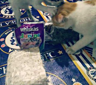 Cara Mengobati Kucing Mencret atau Diare