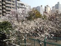 Ume - plum tree blossoms, Machida, Japan