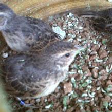 Cara Merawat Dan Memelihara Burung Branjangan Yang Masih Piyik