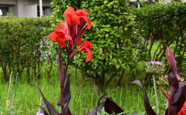 熱帯アメリカ原産のカンナ