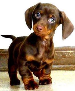Filhotinho de cachorro, marrom com pelo liso, orelhas compridas na altura do queixo, olhos muito azuis e focinho cor de caramelo. Ele tem as patinhas curtas, o peito no mesmo tom do focinho, rabo fino e está em pé com olhar atento.