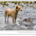 Raríssimo cão cantante foi redescoberto em meio selvagem