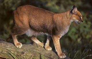 [Image: African+Golden+Cat.jpg]