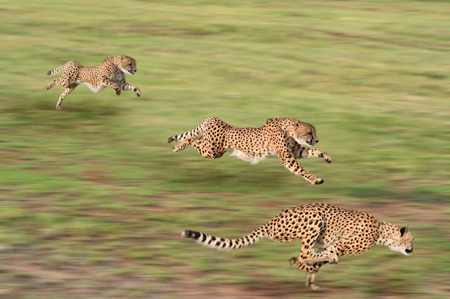Three cheetahs running, via Adobe Stock
