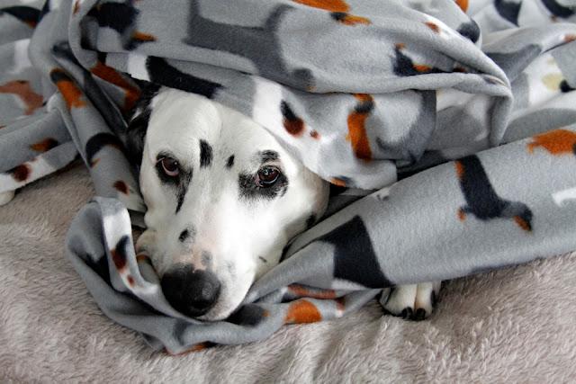 Dalmatian dog wrapped up in dog printed polar fleece blanket