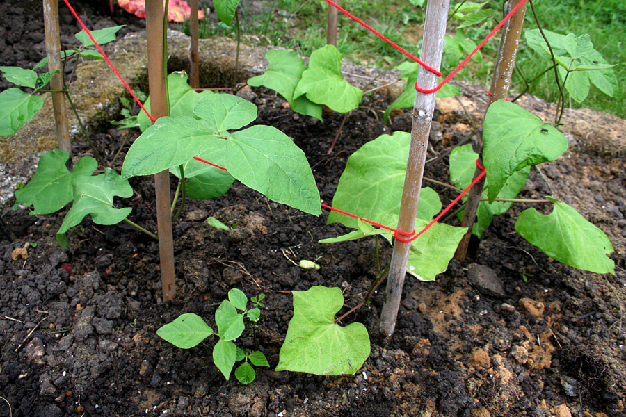 The Victory Garden - Runner bean plants beginning to grow up a cane pyramid