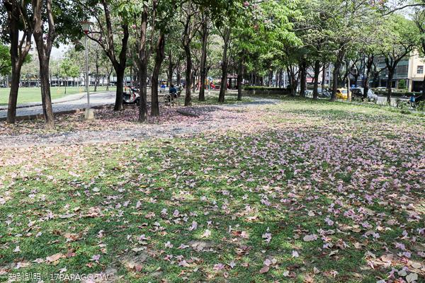 台中東區|大智公園|洋紅風鈴木|滿滿的風鈴木花毯|陽光草坪|運動休閒好去處