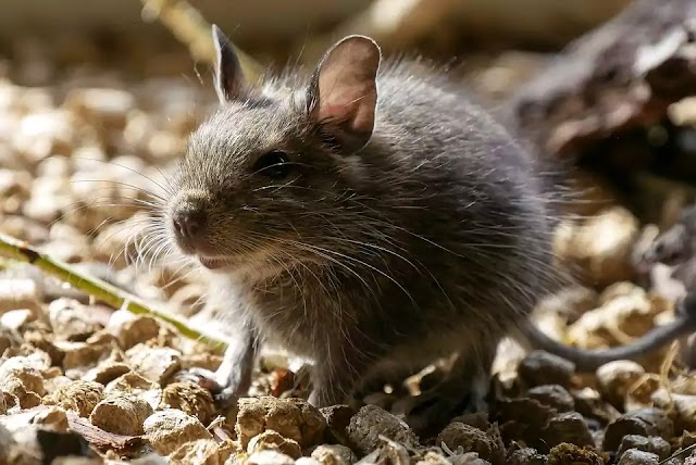 Get Rid of Mouse: 6 Steps to Keep Rats and Mice Out of Your Home Permanently