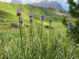 [Campanulaceae] Phyteuma orbiculare – Round Headed Rampion (Raponzolo orbicolare)