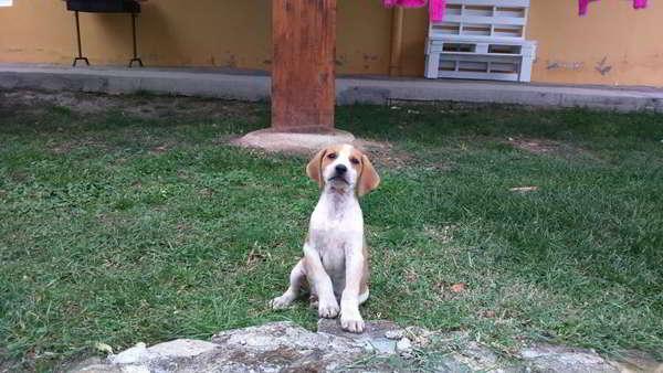 cachorros cruce sabueso con podenco 2