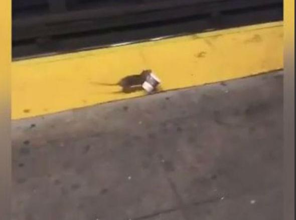 Mundo: Rato carrega copo de café no metrô de Nova York e faz sucesso nas redes sociais