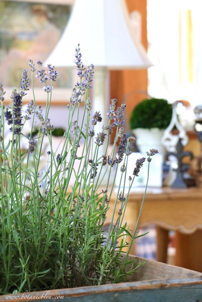 French Lavender in Rustic Blue Box