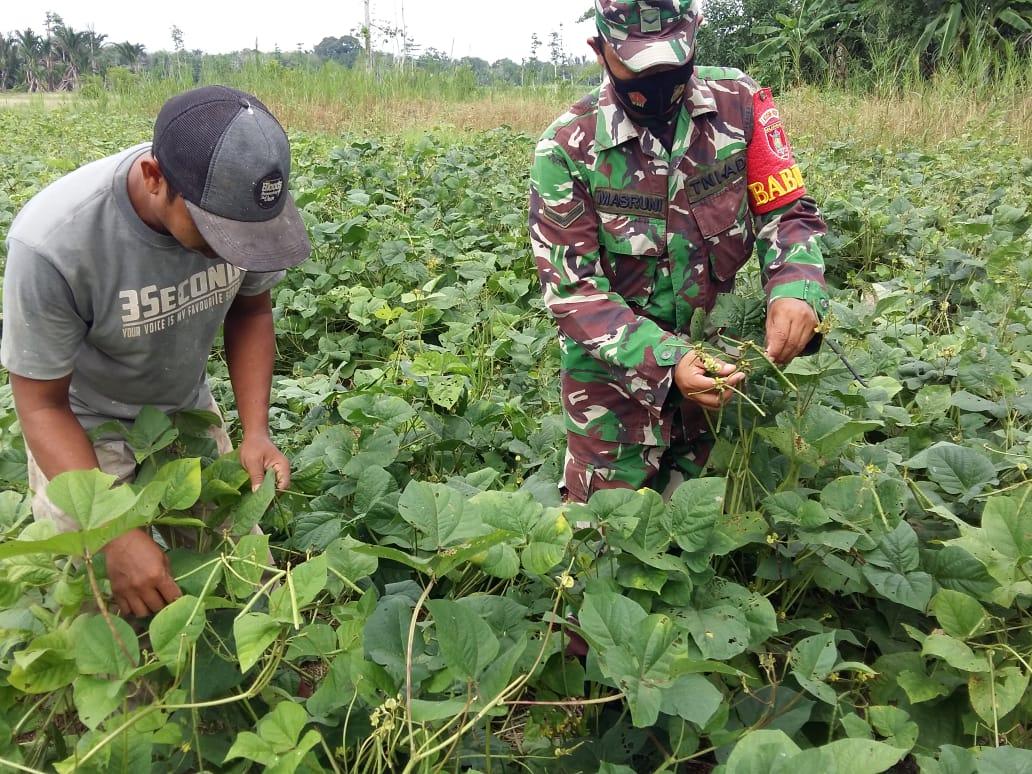 Babinsa Kodim Barabai Dampingi Petani Sukseskan Ketahanan Pangan