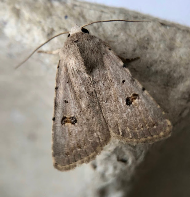 Garden Moths, London, Essex