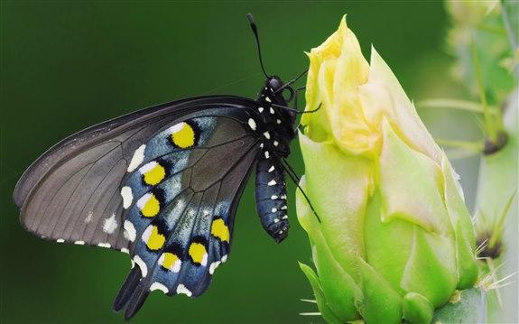 Kelebek - K Hayvan İsimleri