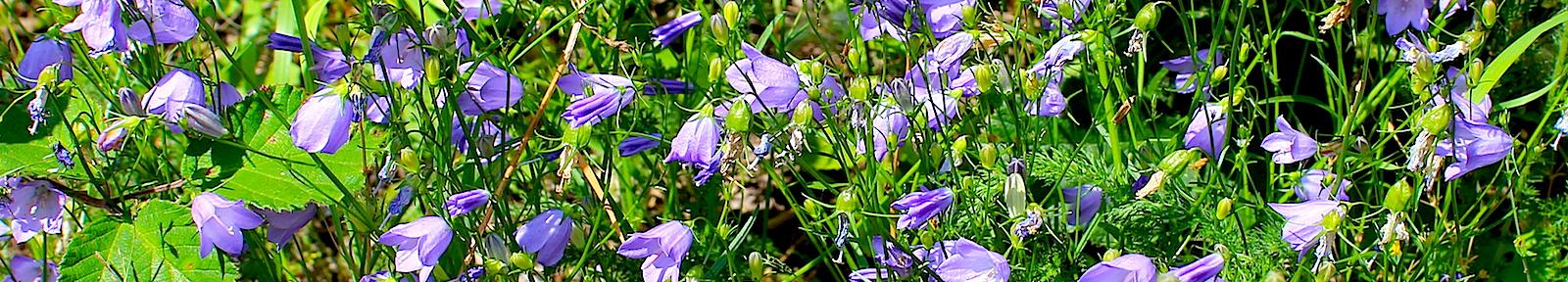 Полевые цветы для святителя Магнериха Трирского