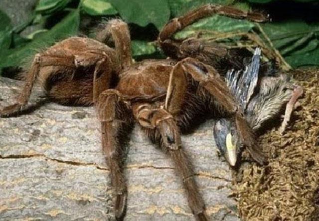 tarantula mangsa burung