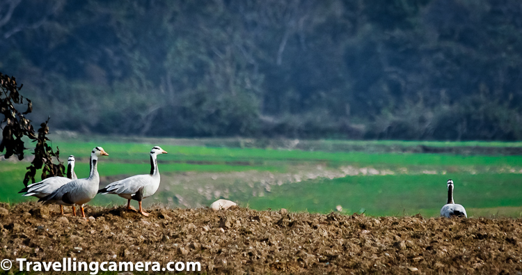 Related Blogpost - Elusive Songmakers of Dalhousie, Himachal || Birds of the Himalayas    The population of Flagship Species of Pong Lake ,Bar-headed Geese have shown 68% increase from last year (2018-19) as the total count was  29443 as compared 49496 Bar-headed Geese this year.    Related Blogpost - The Winged Models || Birds of Badahin, Mandi, Himachal Pradesh    Population of birds and number of species is expected to increase in coming days during return journey to their breeding grounds as birds from North-West, Central and South India will start arriving at Pong Lake.    Related Blogpost - Incredible Birds of Costa Rica - part 4 || Flycatchers, Warblers, Solitaires, Jays, Egrets