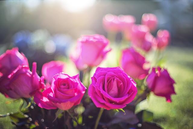Entre plantas y macetas: ¿Cómo tener un jardín de rosas?