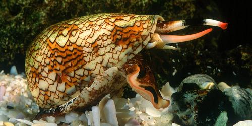 Caracol marino cono de mármol