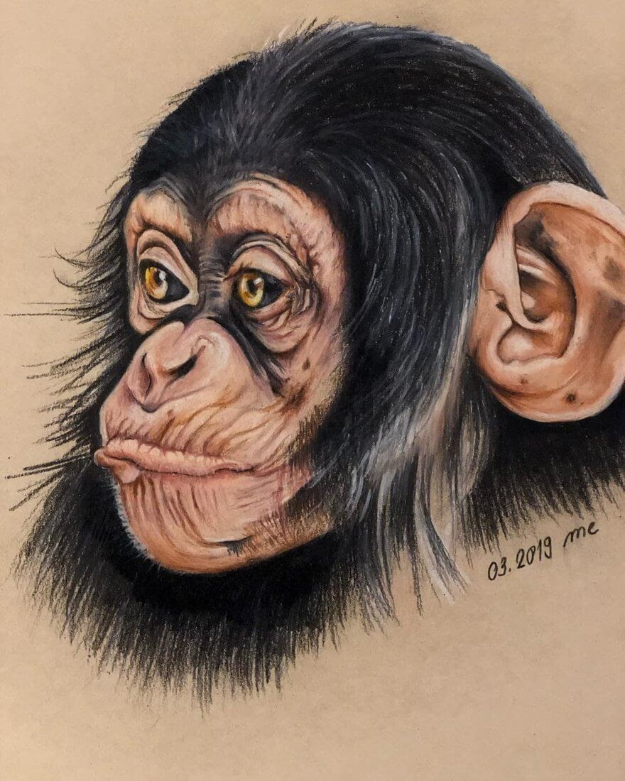 08-Chimpanzee-Eichenberger-Rodriguez-Colored-Wildlife-Drawings-www-designstack-co