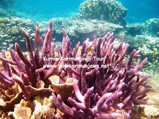 terumbu karang di kepulauan karimunjawa
