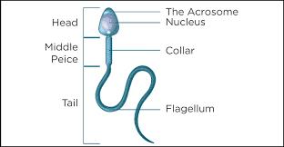 How to identify a quality sperm