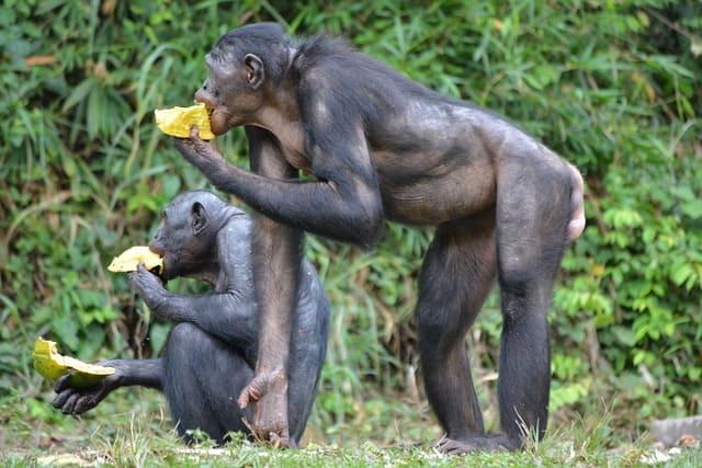 bonobo en peligro de extincion