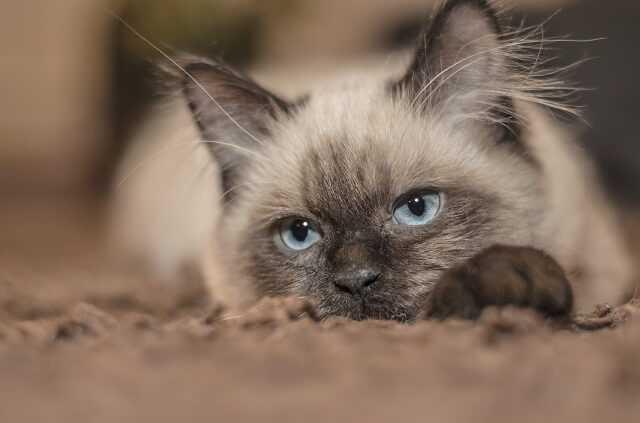 gatto siamese caratteristiche