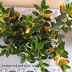 Nematanthus GOLDFISH PLANT COLUMNEA X BANKSII Details