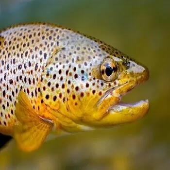 ट्राउट मासा, Trout fish name in Marathi
