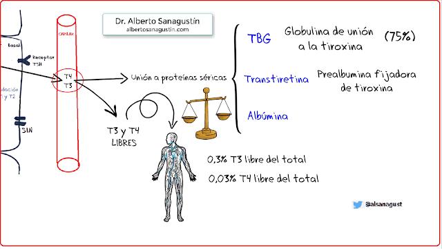 proteínas transportadoras de hormonas tiroideas