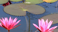Lotus Flowers wallpaper