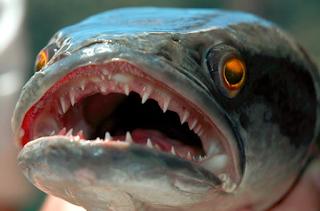 Cara Budidaya Ikan Toman Dalam Akuarium, Terpal Dan Keramba