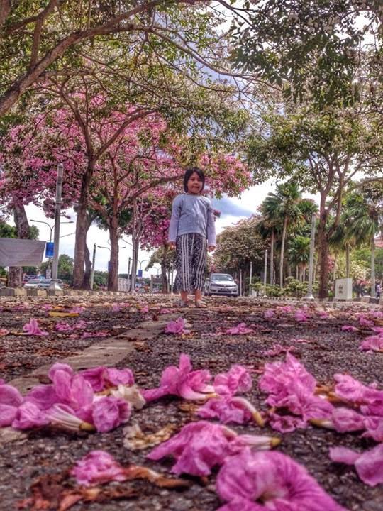 GAMBAR Keindahan Musim Bunga Sakura di KedahHampa Tak