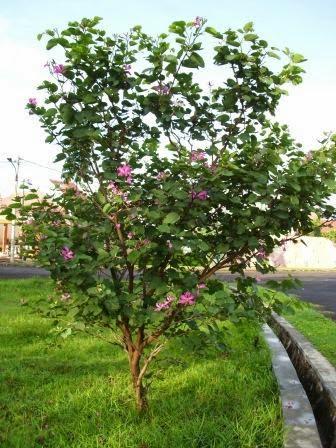 Pohon Kupu Kupu : pohon, Pohon, Kupu-kupu, (Bauhinia, PurpureaL), Suplier, Tanaman, Pelindung, Desai, Taman, Tukang, Minimalis
