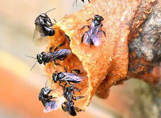 Lebah madu klanceng