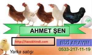 Şarköy yumurtacı tavuk ve horoz çeşitleri
