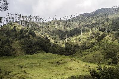 Valle de Cocora Quindío Colombia