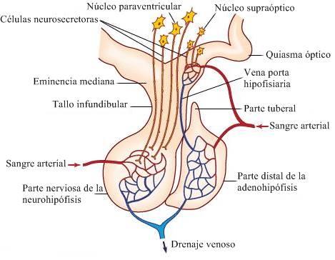 anatomía de la glándula pituitaria mamífera